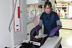 Hopkinton Animal Hospital offers  TPLO (Tibial Plateau Leveling Osteotomy) Surgery on dogs who have torn their cranial cruciate ligament, also commonly referred a dog's torn ACL. Weare Animal Hospital screens for a variety of bone and joint conditions, most commonly hip dysplasia, and performs numerous other orthopedic studies allowing for O.F.A. certification of your dog's joints.