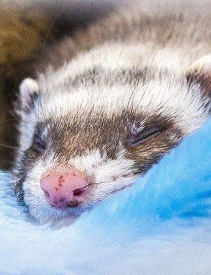 Ferret Information Sheet